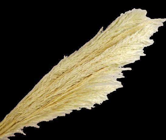 Cana Silvestre x 6 Stems White