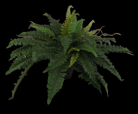 Boston Fern 70cm W/48 Leaves In Pot